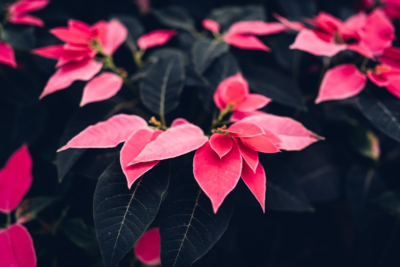 Poinsettia_Care